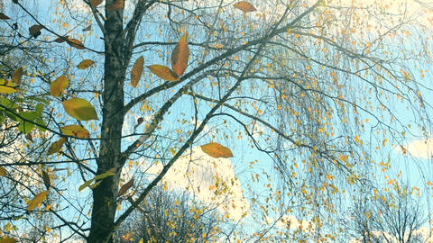 Yellow leaf on branch on background of blue sky close-up Footage