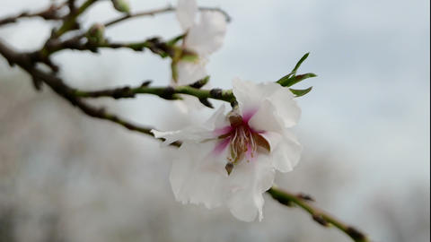 Flowering Almond in a Windy Day 영상물