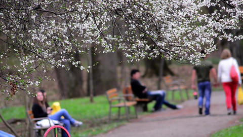 Young people stroll or sit on benches in the park where trees have bloomed 01 Footage
