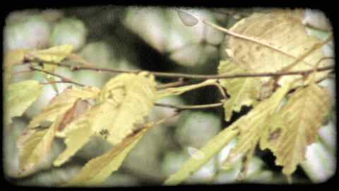 Close-up pan of yellow leaves on tree branch. Vintage stylized video clip Footage