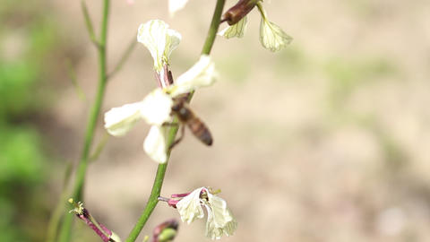 Bees and Arugula Eruca vesicaria in bloom 4 Live Action