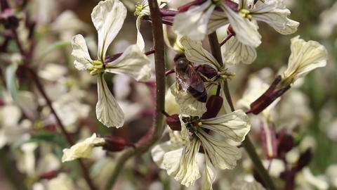 Bees and Arugula Eruca vesicaria in bloom 5 Live Action