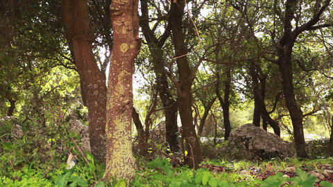 Stock Footage of a rocky grove of trees in the Carmel region of Israel Footage