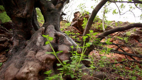 Stock Footage of a gnarled, wet tree trunk in Israel Footage