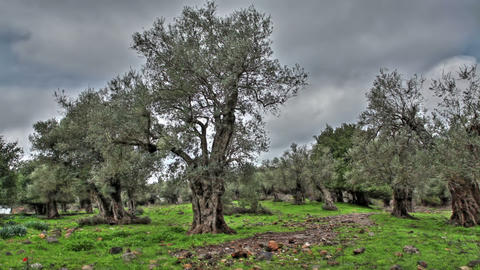 Stock Footage of olive trees in a grove in Israel Footage