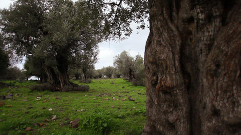 Stock Footage of an olive tree trunk in a grove in Israel Footage