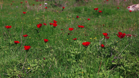 Stock Footage of red flowers in a grassy field in Israel Footage