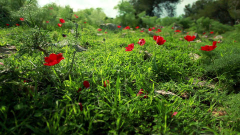 Stock Footage of a tortoise crawling through a red-flowered meadow in Israel Footage