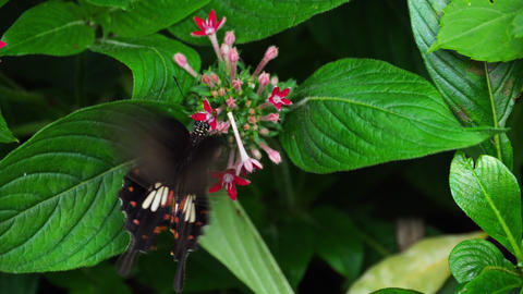 Butterfly Common Mormon GIF