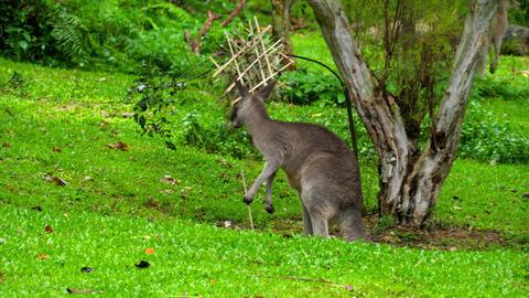 Kangaroo eating grass on a safari park Footage