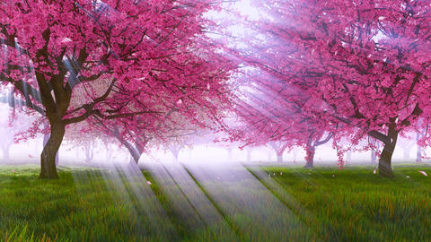 Cherry blossoms and falling petals in slow motion Stock Video Footage