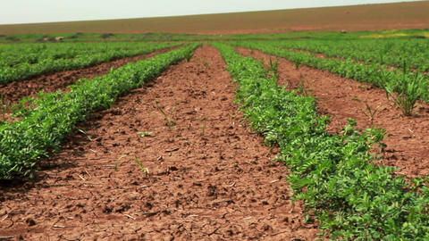 Stock Footage of rows of green crops in Israel Footage