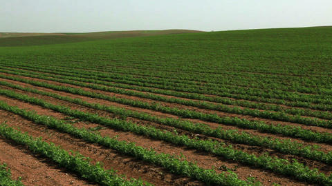 Stock Footage panorama of a large green field of beans in Israel Footage