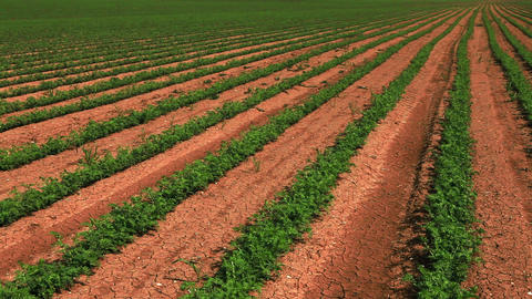 Stock Footage panorama of rows of bean plants in Israel Footage