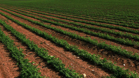 Stock Footage panorama of rows of green crops in Israel Footage