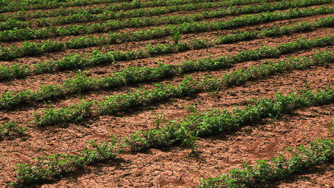Stock Footage panorama of rows of crops in Israel Footage
