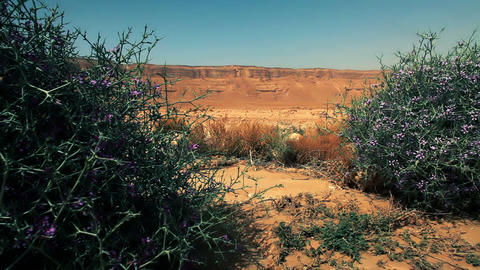 Stock Footage of flowered shrubs in the desert in Israel Footage