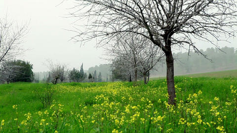 Stock Footage of a meadow of yellow wildflowers in Israel Footage