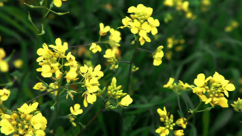 Stock Footage closeup of yellow flowers in Israel Footage