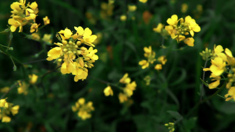 Stock Footage of yellow wildflowers in Israel Footage