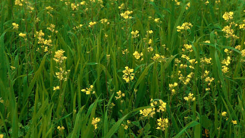 Stock Footage of yellow wildflowers in a grassy field in Israel Footage