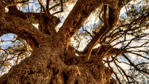 Panning shot of Tracking time-lapse looking up through an olive tree Footage