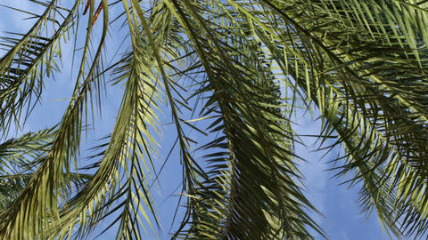 Royalty Free Stock Video Footage of palm fronds and blue sky shot in Israel at 4 Footage