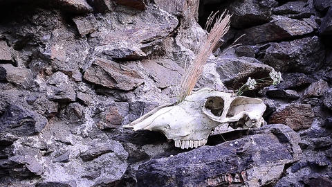 Horse skull which was placed at the base of a stone wall and they grew dried her Footage