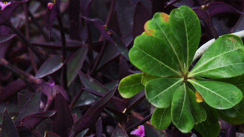 Royalty Free Stock Video Footage closeup of green and purple leaves shot in Isra Footage