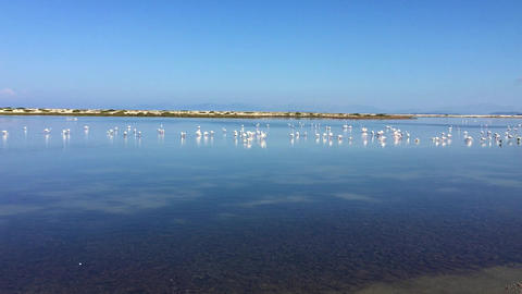 Flock of Flamingos Assembling Before Migration Footage