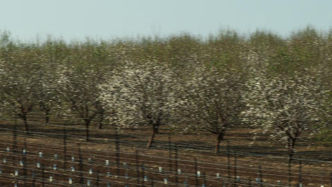 Royalty Free Stock Video Footage panorama of almond orchards shot in Israel at 4 Footage