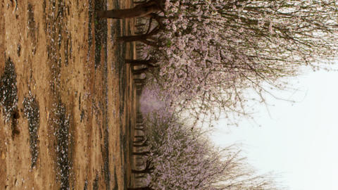 Royalty Free Stock Video Footage of rows in a blooming orchard shot in Israel at Live Action