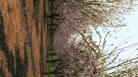 Royalty Free Stock Video Footage of blooming orchard rows shot in Israel at 4k w Live Action