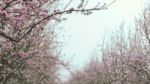Royalty Free Stock Video Footage of blooming orchard branches shot in Israel at  Live Action