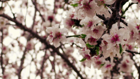 Royalty Free Stock Video Footage of white and pink orchard blossoms shot in Isra Live Action