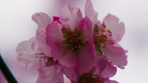 Royalty Free Stock Video Footage of pink blossoms on a tree shot in Israel at 4k Live Action