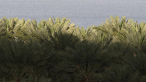 Royalty Free Stock Video Footage of palm tree crowns at the Dead Sea shot in Isr Live Action