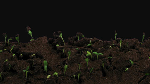 Time-lapse of germinating sunflower seeds in RGB + ALPHA matte format GIF