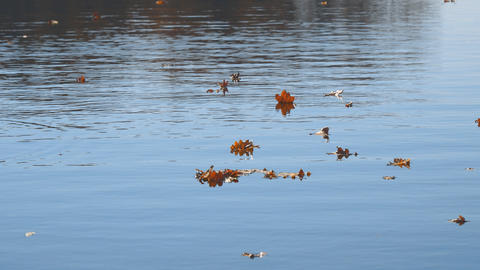 Autumn leaves float on water. Lake or river with quiet water in the autumn Live Action