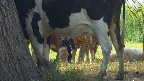 Cows stand in the shade of trees Footage
