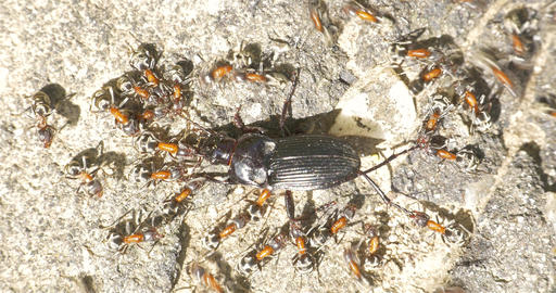 Colony Of Ants Atacking And Eating Beetle Footage