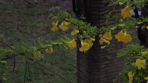 Yellow freesia flowers on overhanging wire in Rome Footage