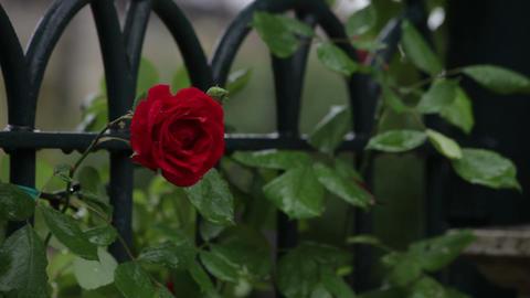 Single rose fluttering in wind on Roman fence Footage