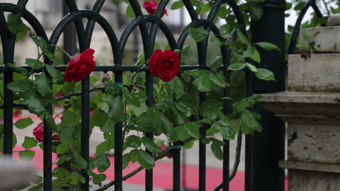 Red roses climbing on a Roman fence Footage