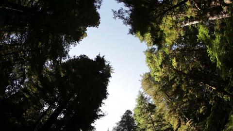 Pine trees against sky Footage