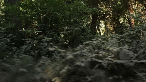 Ferns growing in pine forest Footage
