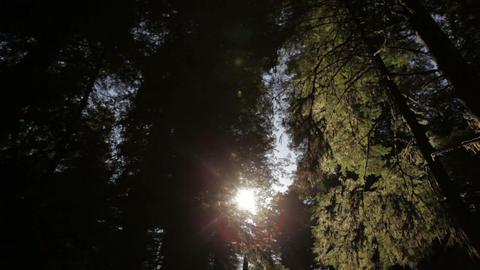 Bright sun against dark redwood trees Footage