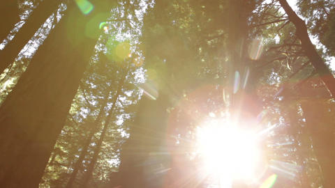 Tall redwood trees against bright sky Footage