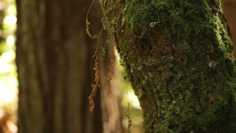 Tree with Moss in the Forest Live Action