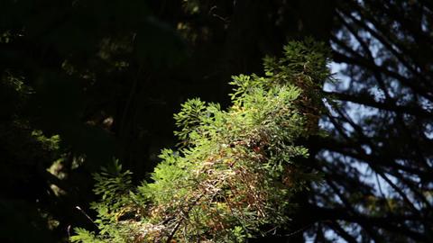 Small Evergreen Tree Footage